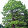 Written Answer to Question: Planting oak trees to combat fires and desertification